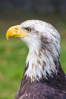 Aguila cabeza blanca
