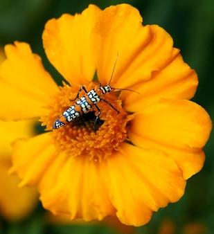 Ailanthus mot webworm insect atteva aurea