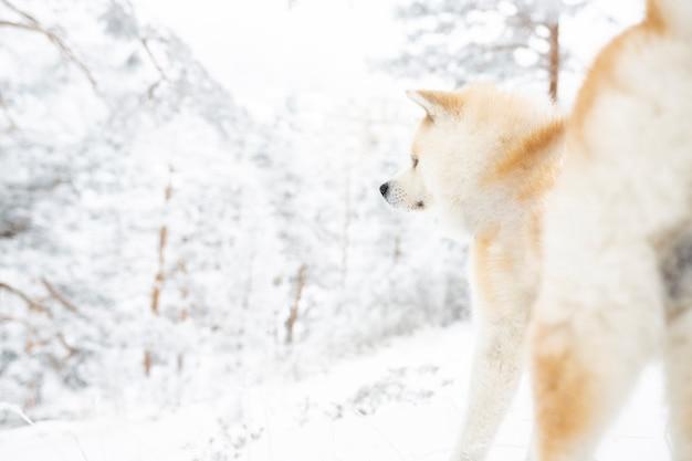 Akita hond in de sneeuw gelukkig