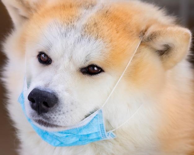Akita inu met masker van covid-19 beschermt uw huisdieren