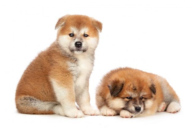 Akita inu puppy hondje
