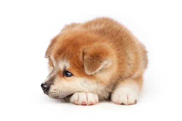 Akita inu-puppyhond op wit