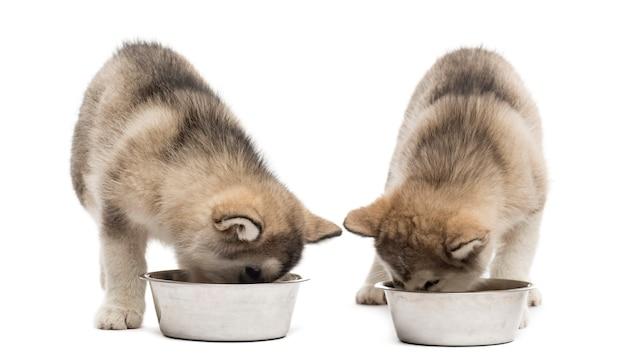 Alaskan malamute-puppy's drinken geïsoleerd op wit