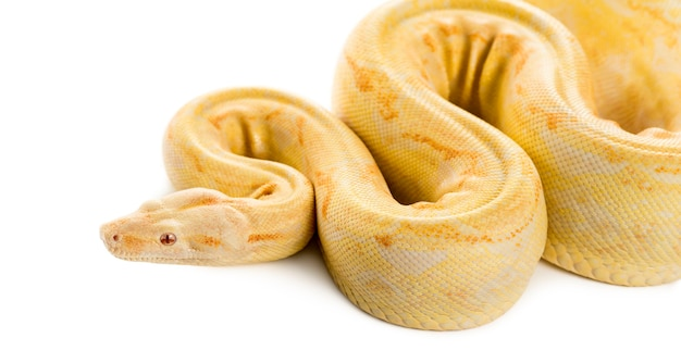 Albino koninklijke python voor een wit