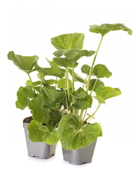 Alcea rosea plant