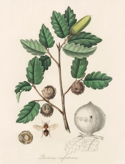 Aleppo-eik (luercus-infectoria) illustratie uit medische plantkunde (1836)