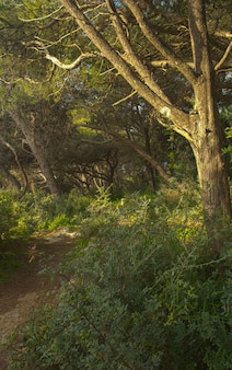 Aleppopijnboom pinus halepensis bos