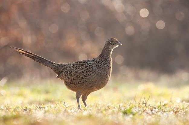 Alert fazant vrouwtje staande op een groen gras nat van dauw in het voorjaar