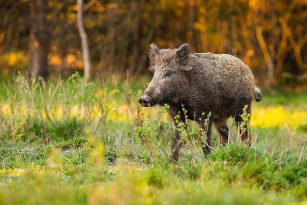 Alert wilde zwijnen staande op open plek met vers groeiend gras in het voorjaar bij zonsopgang