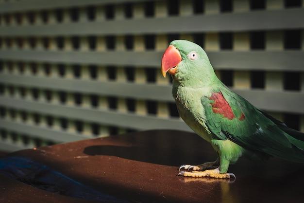 Alexandrine parakeet, groene papegaai met rode mond zitstokken op de houten tafel