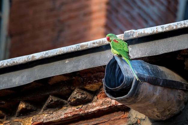 Alexandrine parakeet of psittacula eupatria zitten op de afvoer van het stroomgebied