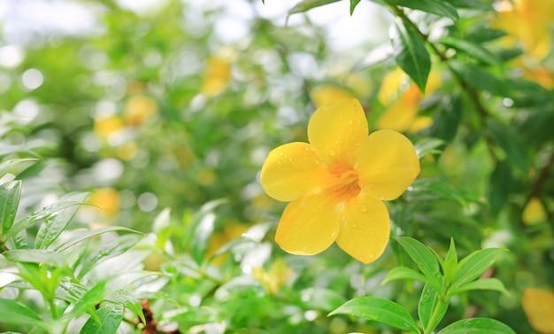 Allamanda bloemen met regendruppel in de zomertuin.