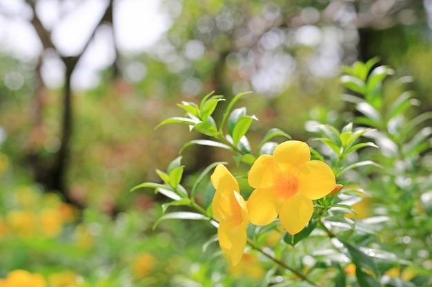 Allamanda bloemen met regendruppel onder zonlicht in de zomertuin.