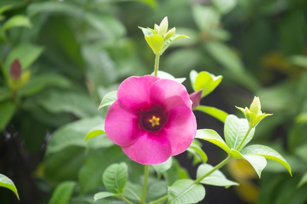 Allamandacathartica bloem of sterbloem in tuin met vage achtergrond