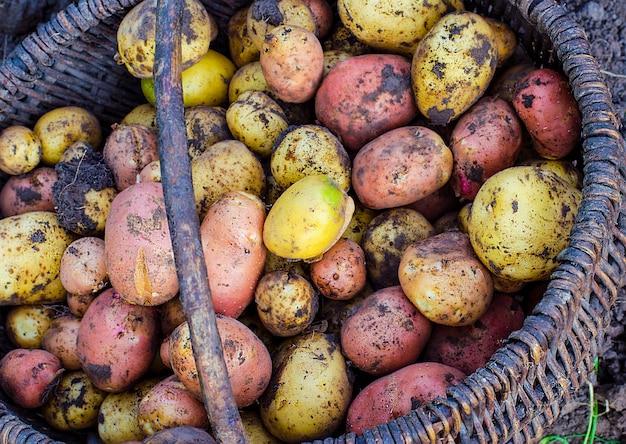Alleen die groeven aardappelen uit de grond in een mand