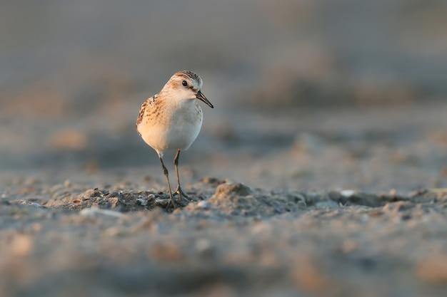 Alleen kleine wandeling op het strand in de vroege ochtend?