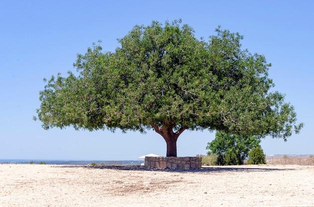 Alleen olijfboom