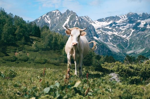 Alleen witte koe staat in de bergvallei op besneeuwde toppen