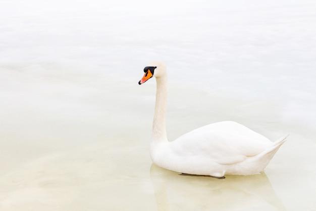 Alleen zwaan zit op smeltend ijs in het koude seizoen