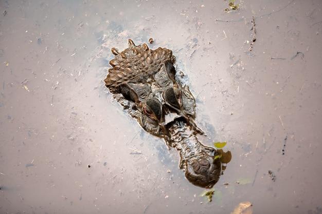 Alligaton hoofd op de amazone-rivier