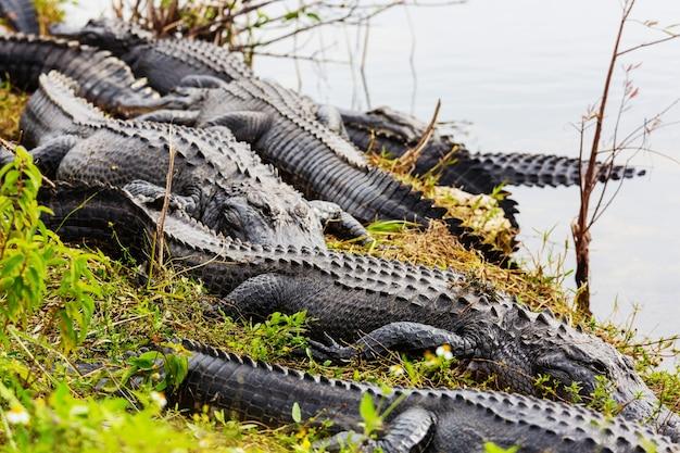 Alligator in florida