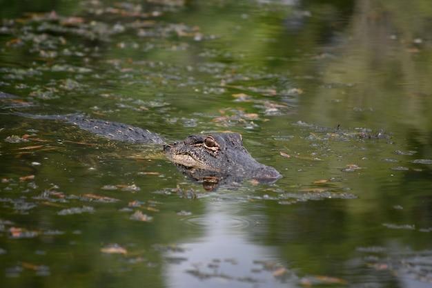 Alligator op de kleinere maat die door het moeras beweegt