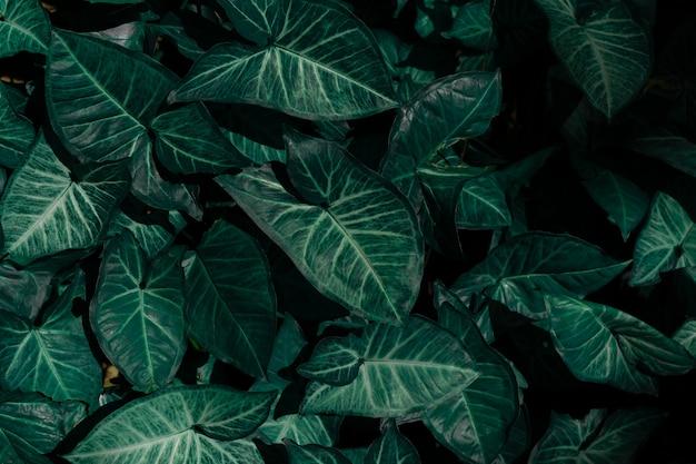 Alocasia amazonica groene bladeren