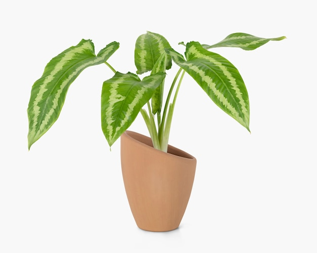 Alocasia polly plant in een terracotta pot home decor object