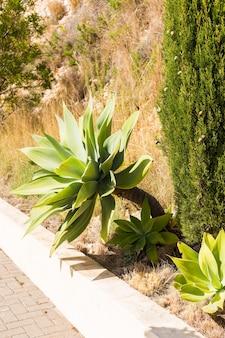 Aloë cactus groeit langs de weg.