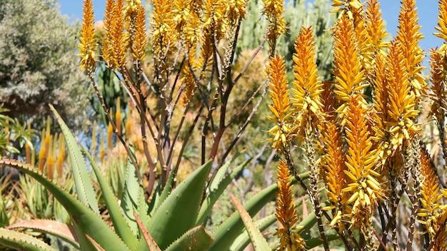 Aloë succulente installatie gele bloem, californië de v.s.