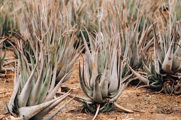 Aloë vera plantage-veel groene planten op het eiland tenerife, canarische eilanden, spanje.