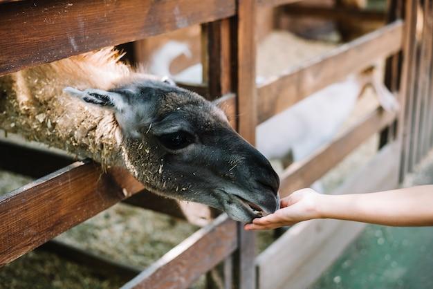 Alpaca die van de hand van het meisje voedt
