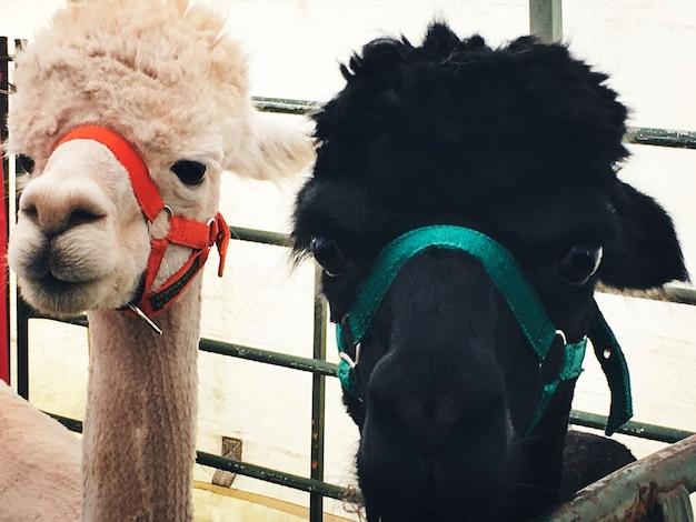 Alpaca's in een stal
