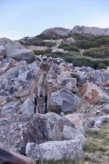 Alpine steenbok of capra pyrenaica op de top van de berg tegen stenen in het gebergte sierra de gredos.