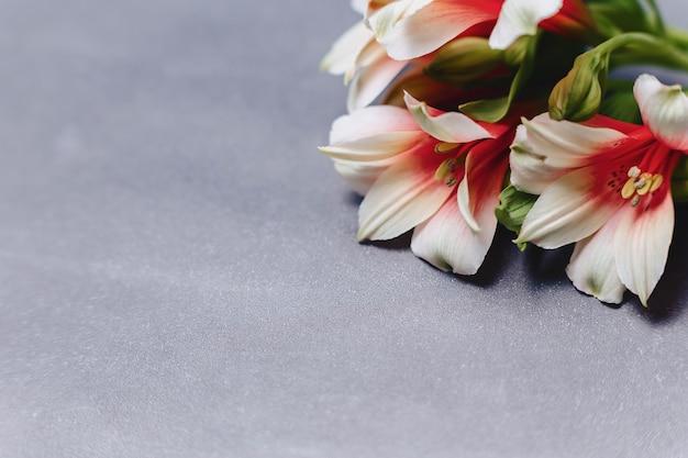 Alstroemerias op eenvoudige grijze achtergrond
