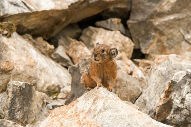Altai pika of alpine pika zoogdier van het geslacht pika van het detachement van lagomorphs altai, rusland