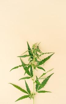 Alternatief medicijn. cannabisplant op een beige achtergrond. medische wiet. ruimte kopiëren