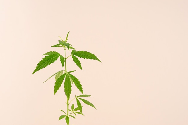 Alternatief medicijn. cannabisplant op een beige achtergrond. ruimte kopiëren