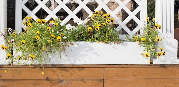 Altviool bloemen in bloempotten buiten