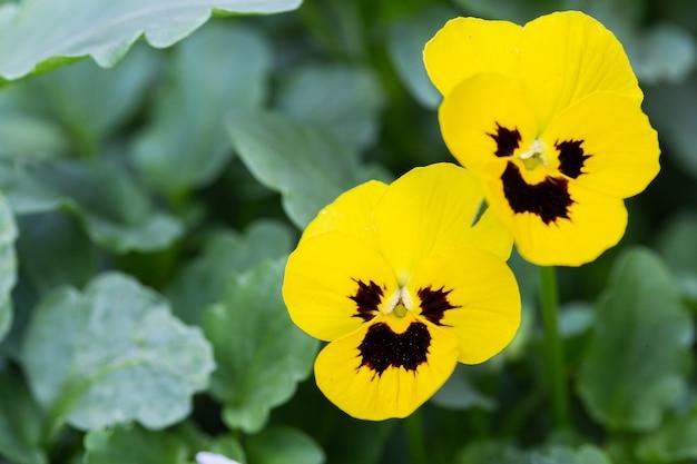 Altvioolbloem in de tuin bij zonnige zomer of de lentedag.
