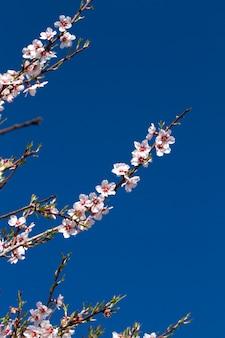 Amandel bloemen