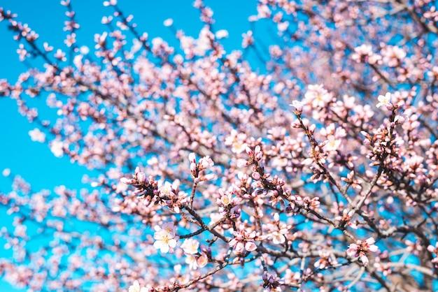 Amandelbloesems tegen een blauwe hemel