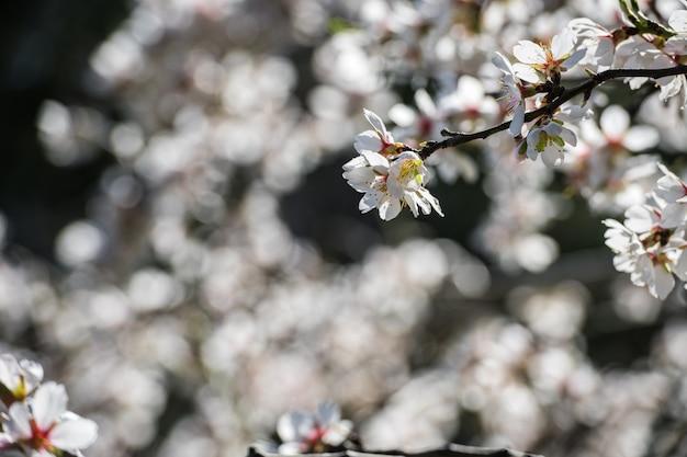 Amandelbomen bloeien in een openbaar park