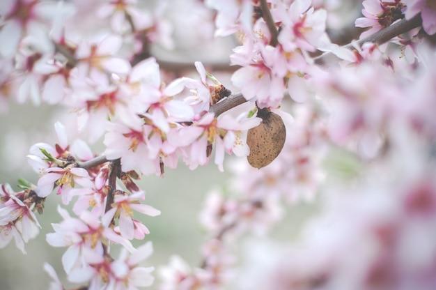 Amandelboom bloemen met takken en amandelnoot close-up wazige achtergrond