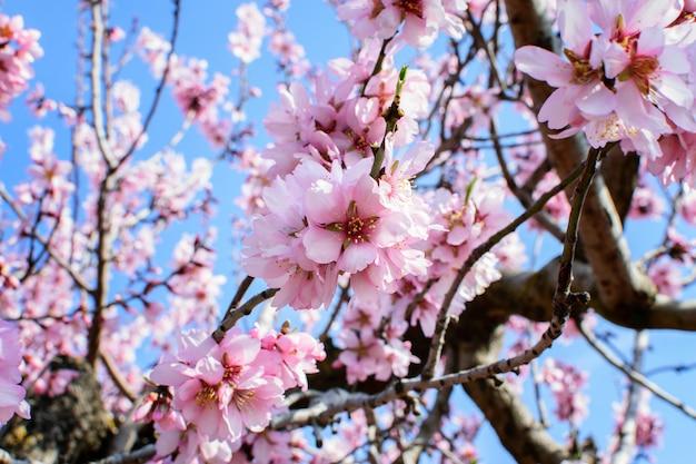 Amandelboom bloesem in het voorjaar.