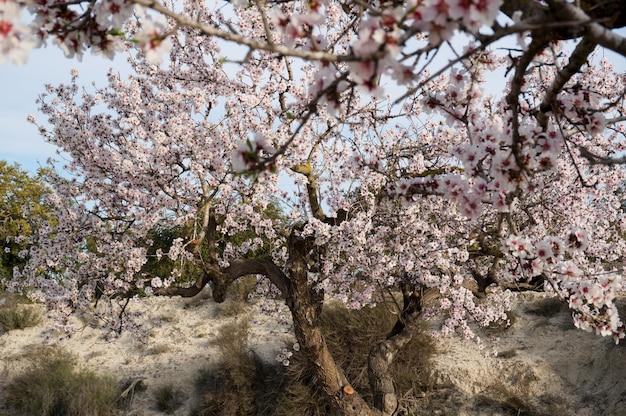 Amandelboom in bloesem dichte omhooggaand