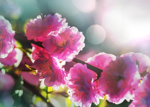 Amandelboom roze bloemen op wazige achtergrond