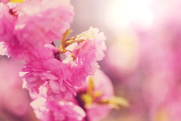 Amandelboom roze bloemen