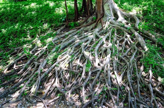 Amazing chaos tree roots bedekt met mos in het bos.