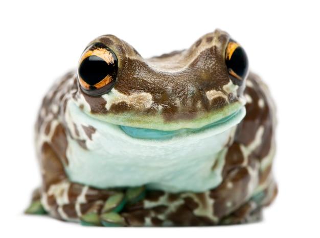 Amazon milk frog trachycephalus resinifictrix voor witte achtergrond
